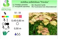 Achilea millefolium Tricolor