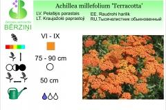 Achillea millefolium Terracotta