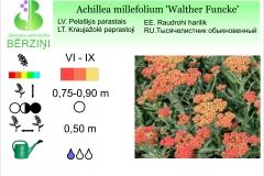 Achillea millefolium Walther Funcke