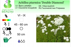 Achillea ptarmica Double Diamond