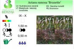 Actaea racemosa Brunette