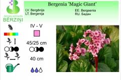 Bergenia Magic Giant