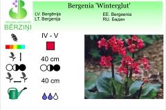 Bergenia Winterglut