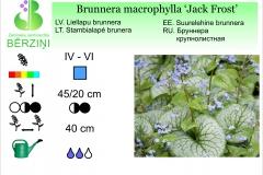 Brunnera macrophylla Jacks Frost