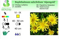 Buphthalmum salicifolium Alpengold