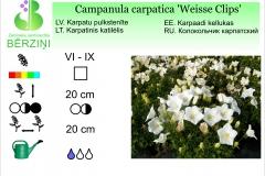 Campanula carpatica Weisse Clips