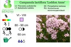 Campanula lactiflora Loddon Anne