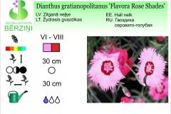 Dianthus gratianopolitanus Flavora Rose Shades