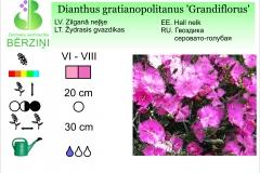 Dianthus gratianopolitanus Grandiflorus