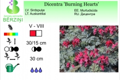 Dicentra Burning Hearts
