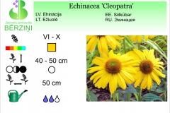 Echinacea Cleopatra