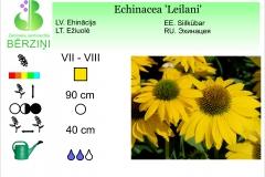 Echinacea Leilani