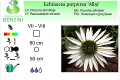 Echinacea purpurea Alba