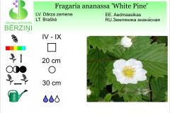 Fragaria ananassa White Pine