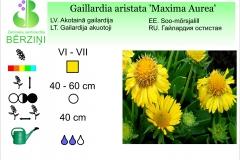 Gaillardia aristata Maxima Aurea
