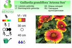 Gaillardia grandiflora Arizona Sun