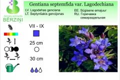 Gentiana septemfida var. Lagodechiana