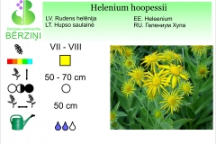 Helenium hoopessii
