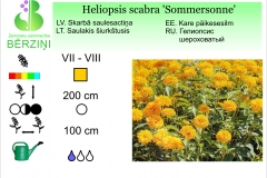 Heliopsis scabra Sommersonne