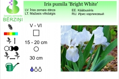 Iris pumila Bright White