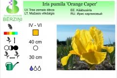 Iris pumila Orange Caper