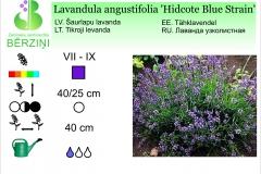 Lavandula angustifolia Hidcote Blue Strain