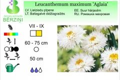Leucanthemum maximum Aglaia