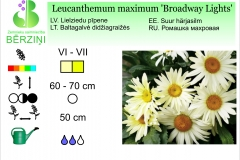 Leucanthemum maximum Broadway Lights