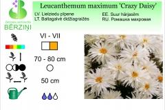 Leucanthemum maximum Crazy Daisy