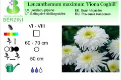 Leucanthemum maximum Fiona Coghill