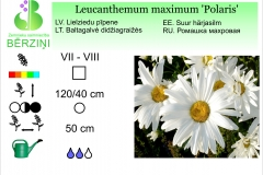 Leucanthemum maximum Polaris