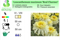 Leucanthemum maximum Real Charmer