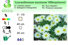 Leucanthemum maximum Silberprincess