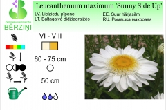 Leucanthemum maximum Sunny Side Up