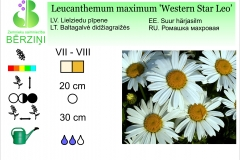 Leucanthemum maximum Western Star Leo