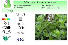 Mentha spicata - marokan