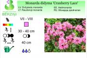 Monarda didyma Cranberry Lace