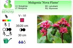 Mukgenia Nova Flame