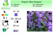 Nepeta Blue Dragon