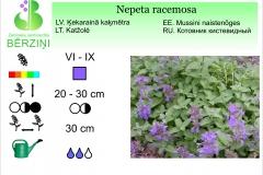 Nepeta racemosa