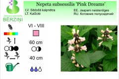 Nepeta subsessilis Pink Dreams