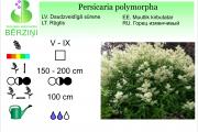 Persicaria polymorpha