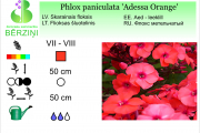 Phlox paniculata Adessa Orange