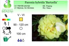 Paeonia hybrida Bartzella