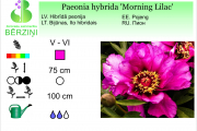 Paeonia hybrida Morning Lilac