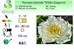Paeonia hybrida White Emperor
