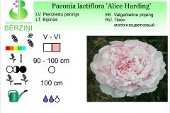 Paeonia lactiflora Alice Harding