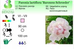 Paeonia lactiflora Baroness Schroeder