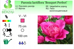 Paeonia lactiflora Bouquet Perfect