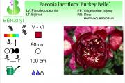 Paeonia lactiflora Buckey Belle